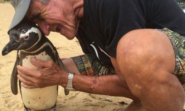 ¡Insólito! Pingüino viaja kms cada año para ver al hombre que lo salvó