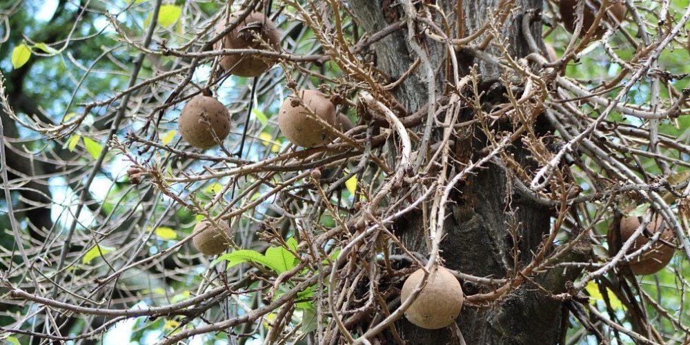 🥥 Propiedades medicinales del coco de mono y su alta capacidad para eliminar el vello 🥥