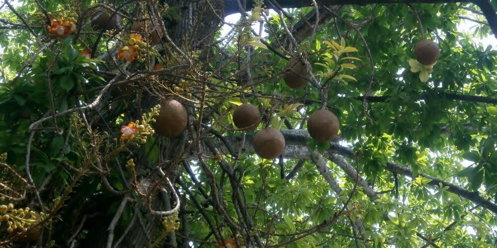arbusto-coco-e-mono-salud-