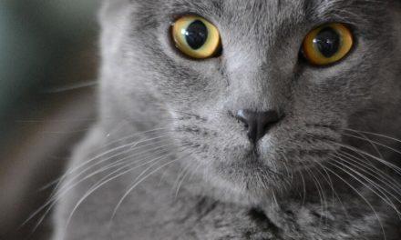 ✌ Gato fogoso al hospital tras aparearse con 5 gatas en una noche ✌