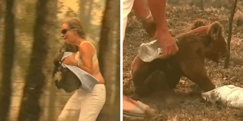 muere-koala-lewis-rescatado-por-una-mujer-tras-incendio-en-australia-incendio-rescate-movidatuy.com