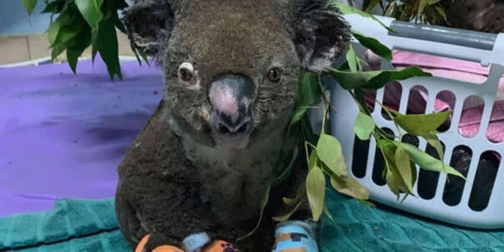 muere-koala-lewis-rescatado-por-una-mujer-tras-incendio-en-australia-rescatado-herido-movidatuy.com