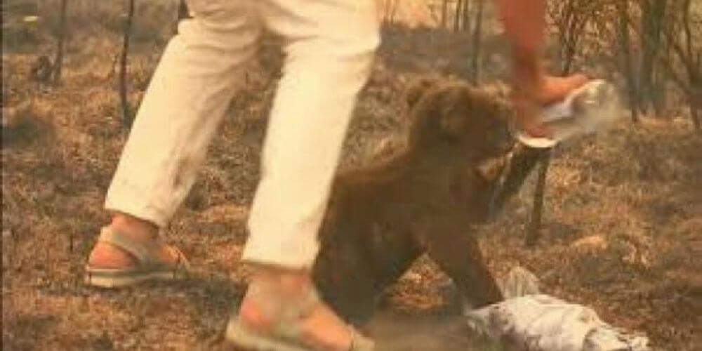 muere-koala-lewis-rescatado-por-una-mujer-tras-incendio-en-australia-rescate-australia-movidatuy.com