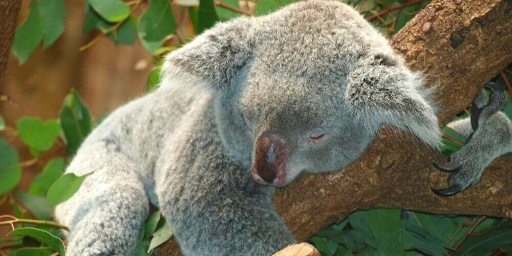 Muere koala Lewis rescatado por una mujer tras incendio en Australia