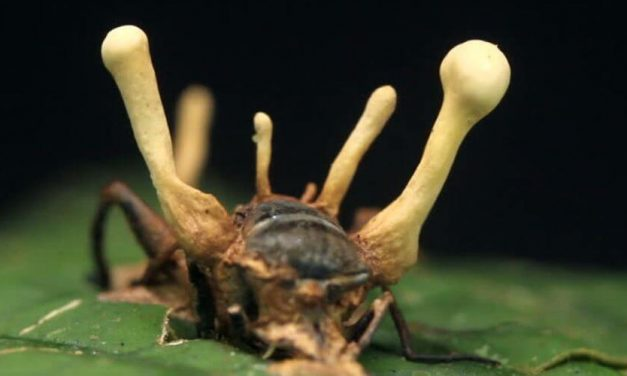 😮 Aparece un extraño parásito que transforma insectos en zombies 😮