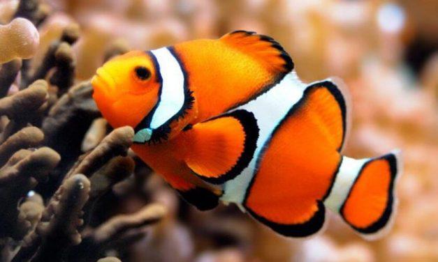 😮 ¿Buscando a Nemo? El pez payaso está en peligro de extinción 😮