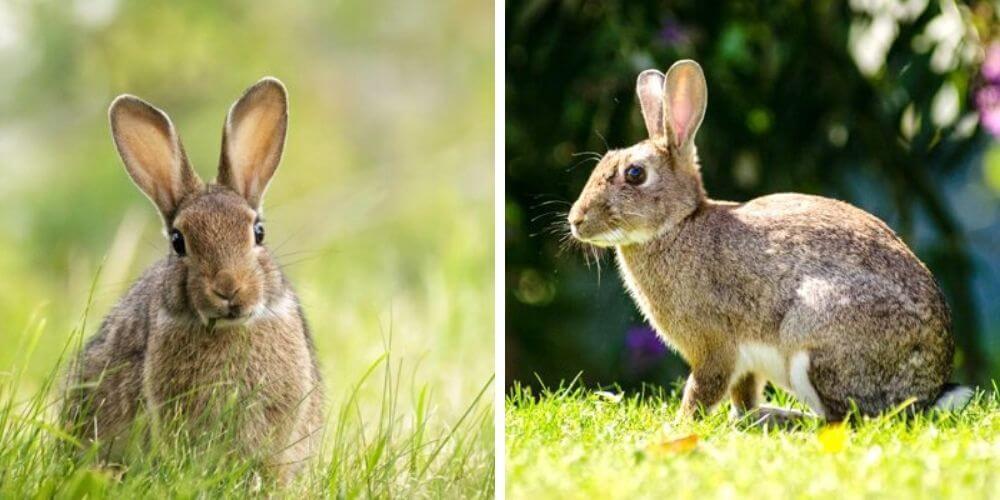 medioambiente-el-conejo-europeo-esta-en-peligro-de-extincion-oryctolagus-movidatuy.com