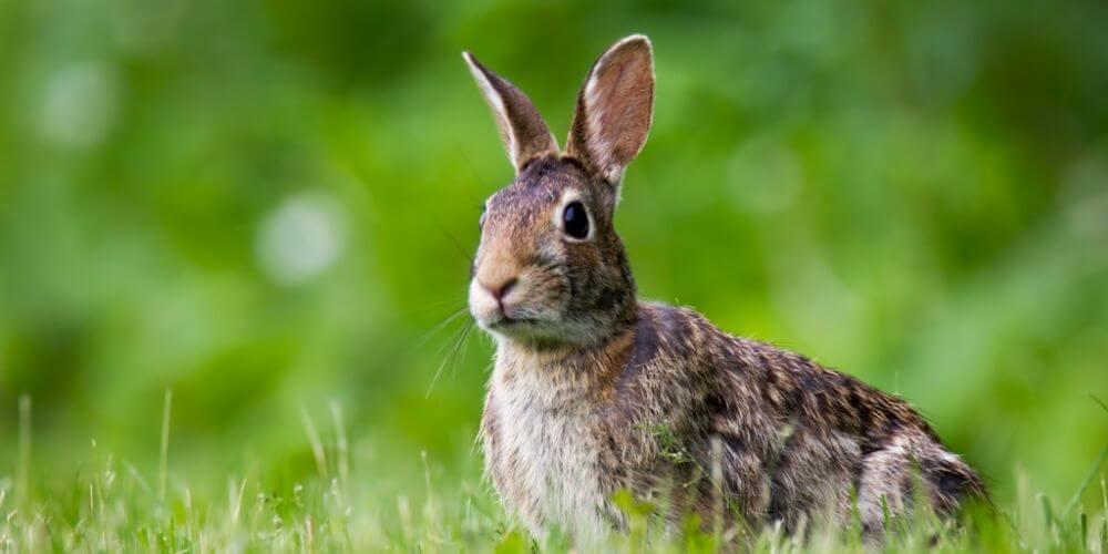 😮 Medioambiente: El conejo europeo está en peligro de extinción 😮