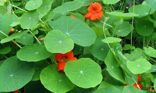 🌿 Propiedades y efectivos usos medicinales del Mastuerzo 🌿