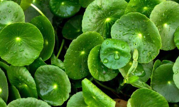 🌿 Planta de Lochita: Propiedades, Beneficios y Usos medicinales 🌿