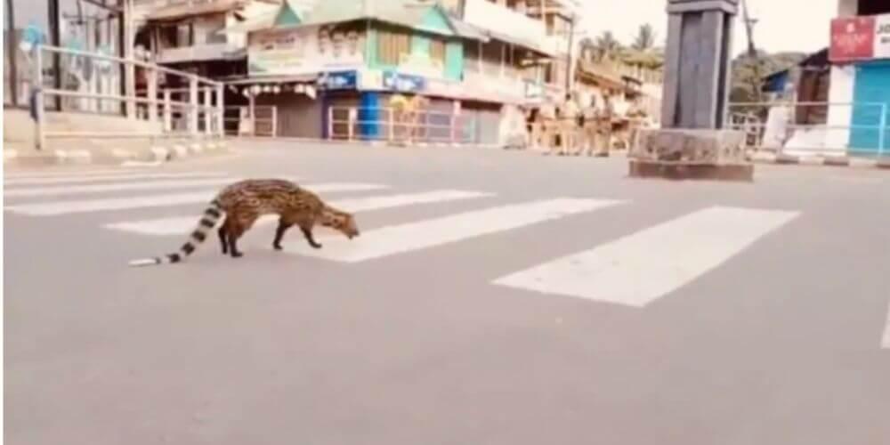 un-civeta-cruza-las-calles-de-la-india-muy-tranquilamente-especie-mamifero-movidatuy.com