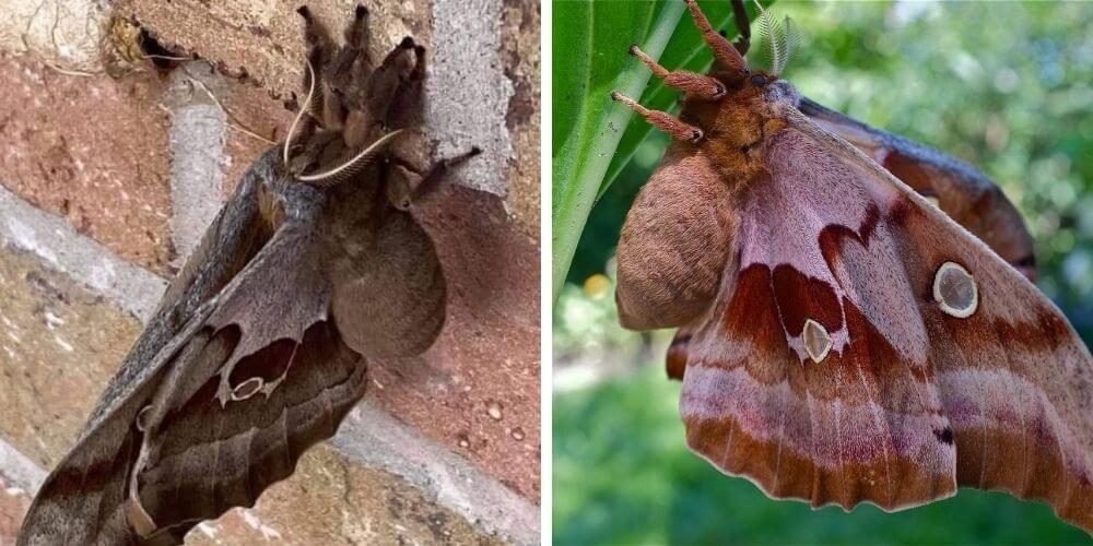 ahora-las-llaman-tarantulas-aladas-pero-en-realidad-se-trata-de-una-polilla-insecto-inofensivo-movidatuy.com