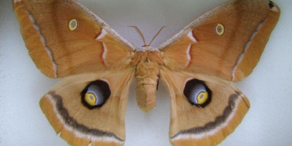 ahora-las-llaman-tarantulas-aladas-pero-en-realidad-se-trata-de-una-polilla-mariposa-movidatuy.com