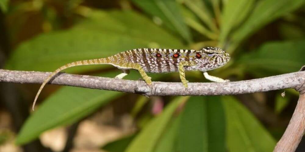 especie-de-camaleon-perdido-hace-mas-de-un-siglo-reaparece-en-madagascar-camuflaje-movidatuy.com
