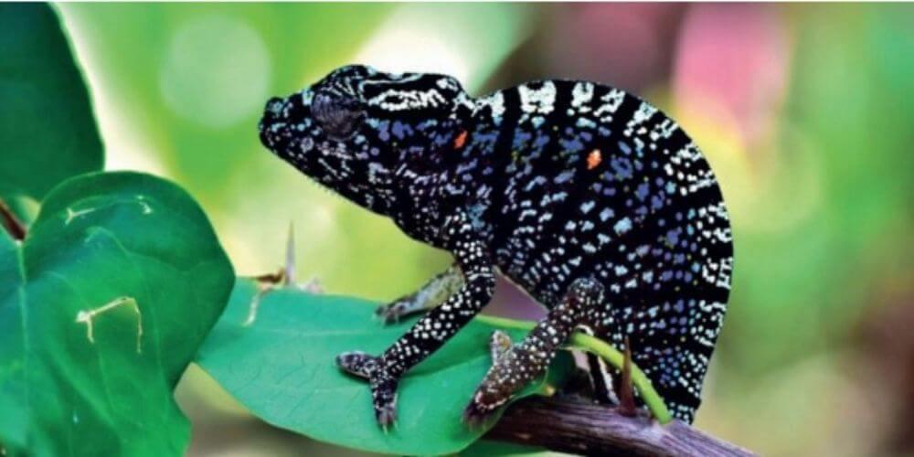especie-de-camaleon-perdido-hace-mas-de-un-siglo-reaparece-en-madagascar-especie-peligro-extincion-movidatuy.com