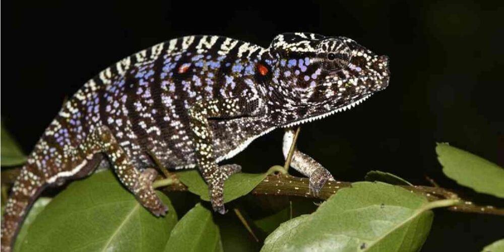 ✌️ Especie de Camaleón perdido hace más de un siglo reaparece en Madagascar ✌️