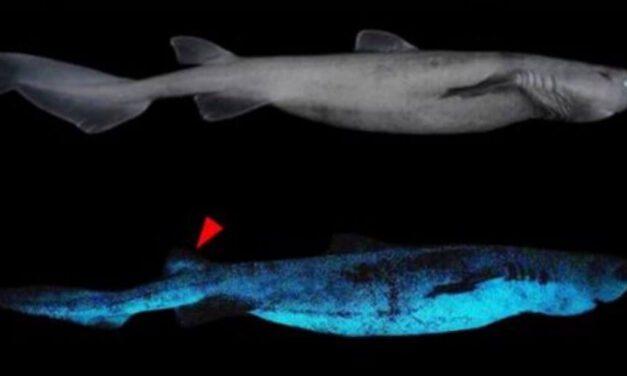😮 En Nueva Zelanda vive el tiburón luminoso más grande del mundo 😮