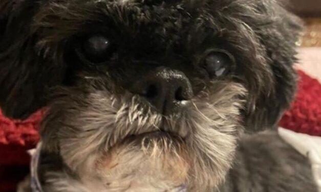 """✌️ Este perrito no podía caminar, ahora le llaman """"Guizmo milagroso"""" ✌️"""
