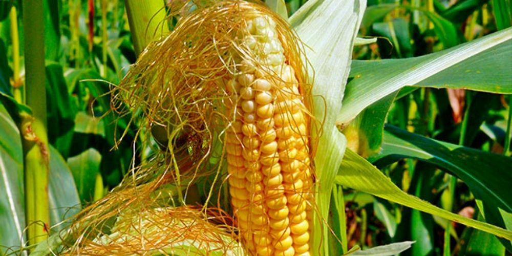 ✅ ¿Qué es la barba de maíz y cuáles son sus beneficios para la salud? ✅