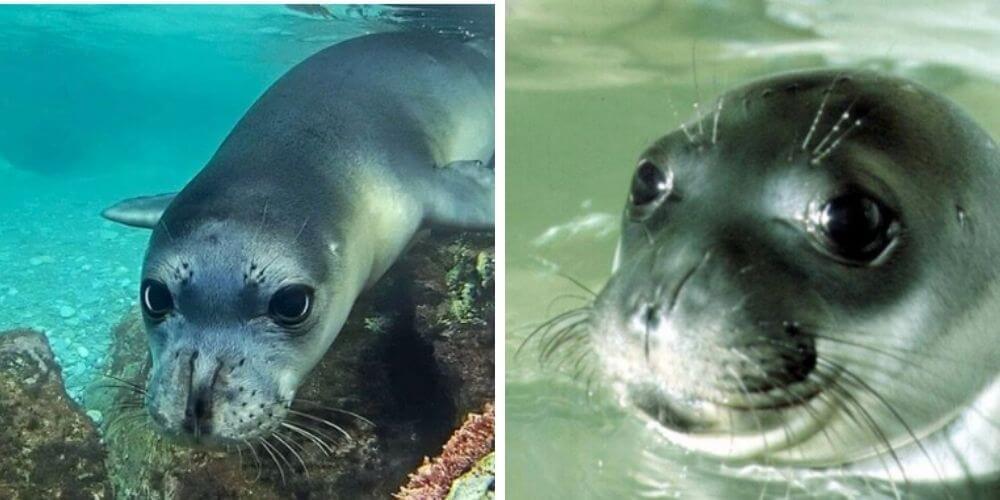 kostis-fallecio-por-un-arpon-era-la-foca-mascota-de-la-isla-griega-de-alonissos-foca-monje-movidatuy.com