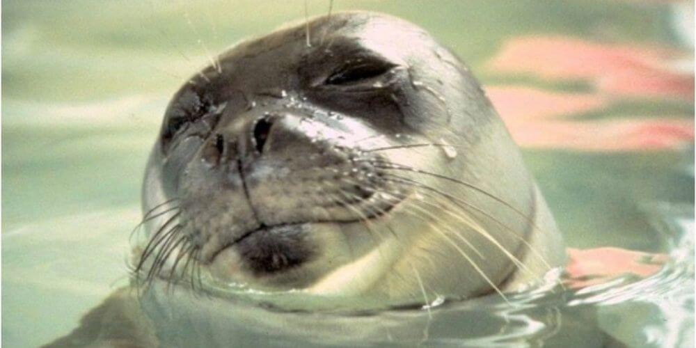 kostis-fallecio-por-un-arpon-era-la-foca-mascota-de-la-isla-griega-de-alonissos-kostis-movidatuy.com