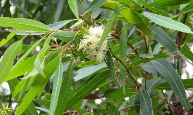 ✅ Conoce los usos medicinales del Eucalipto, un descongestionante natural ✅