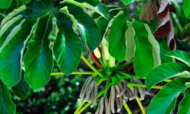 ✅ Ambay, planta argentina para problemas respiratorios y mucho más ✅