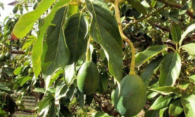 ✅ ¿Para qué sirven las hojas de aguacate? Beneficios que te sorprenderán ✅