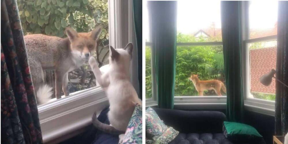 conmovedor-momento-en-el-que-una-zorra-saluda-a-una-gata-a-traves-de-la-ventana-dodo-movidatuy.com