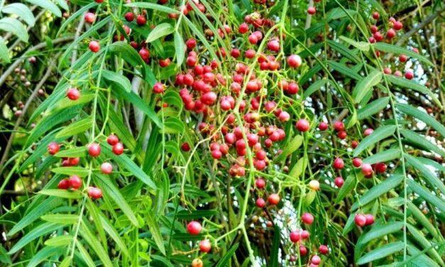 ✅ Conoce las propiedades, beneficios y usos medicinales del Aguaribay ✅