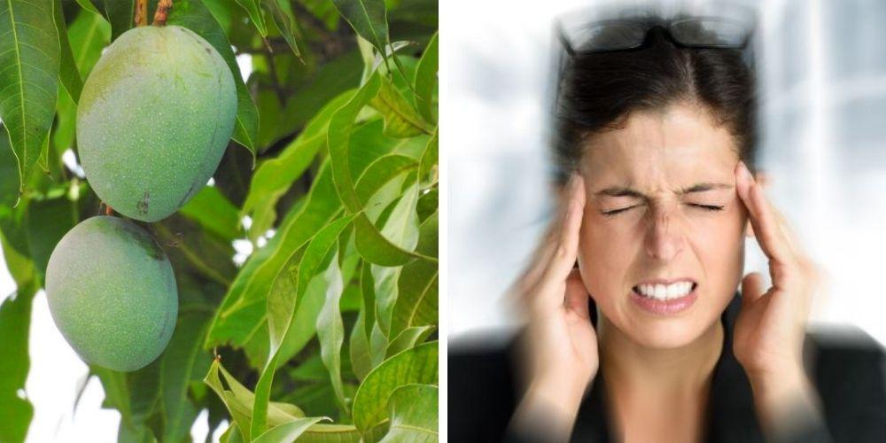 para-que-sirve-el-te-de-las-hojas-de-mango-beneficios-que-te-sorprenderan-salud-movidatuy.com